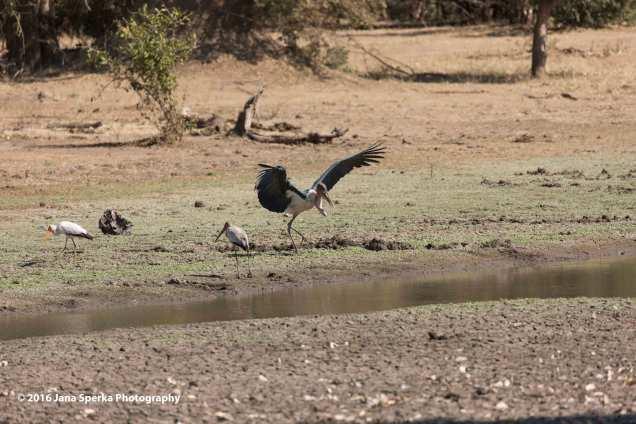 Marabou-Stork-touch-downweb