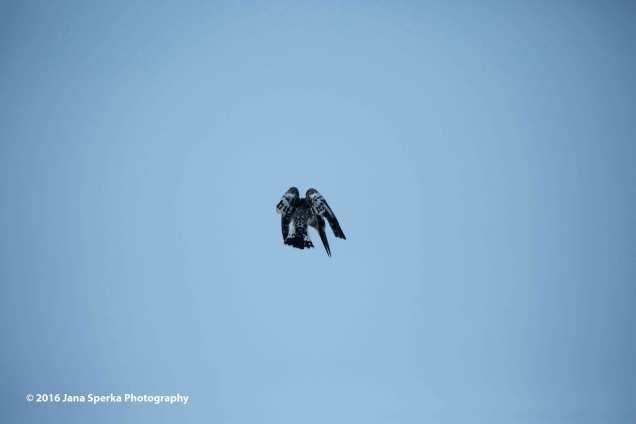 Pied-kingfisherweb