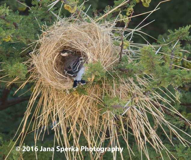 Sociable-weaver-weavingweb
