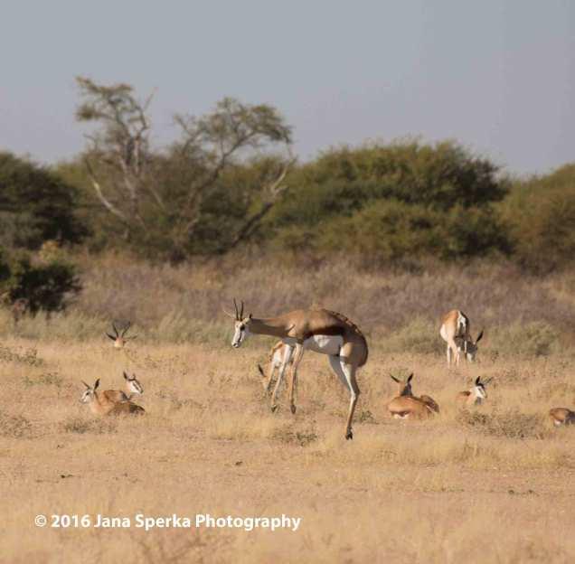 Springbok-springingweb