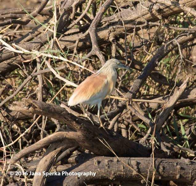 Squacco-Heronweb