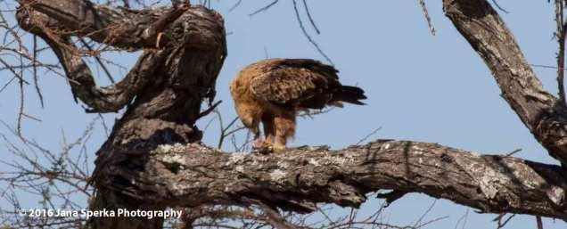 Tawny-Eagle-and-breakfastweb