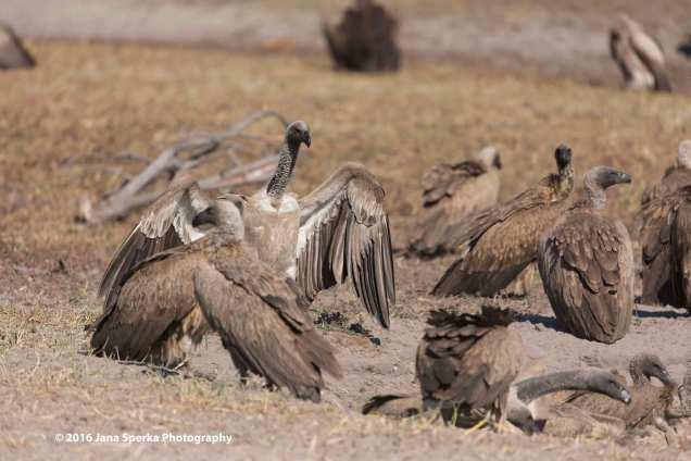 Vulture-partyweb