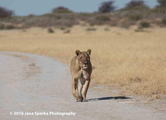 Walking-Lioness-at-Deceptionweb