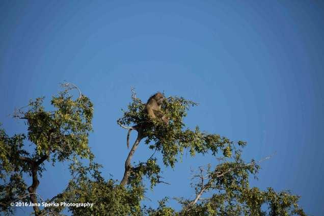 Watch-tower-baboonweb