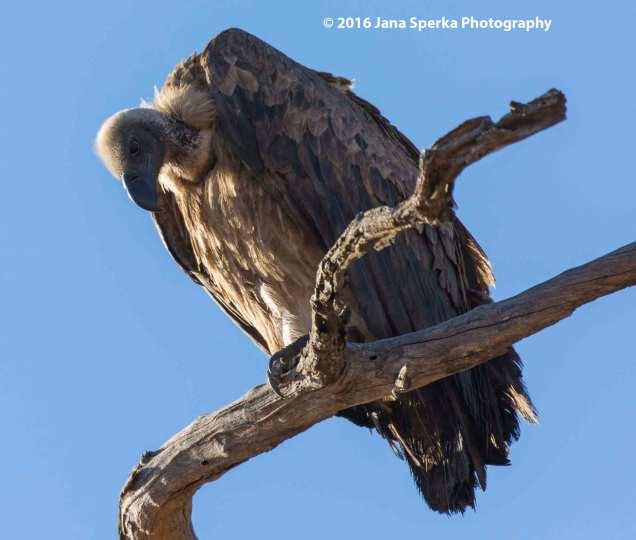 White-Backed-Vulture---I've-go-tmy-eye-on-you_1web