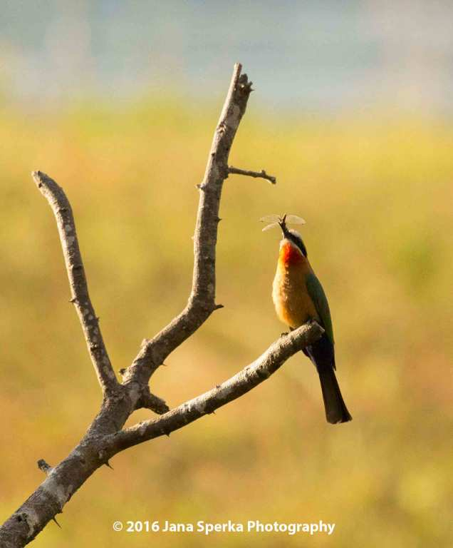 White-Fronted-Bee-Eater-but-a-dragonfly-will-do-in-a-pinchweb