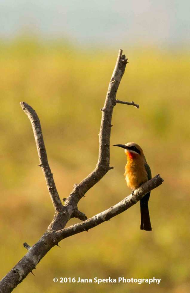 White-Fronted-Bee-Eater_1web