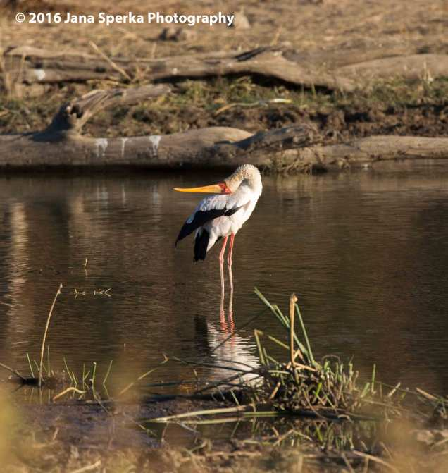 Yellow-billed-stork---for-those-hard-to-reach-itchesweb