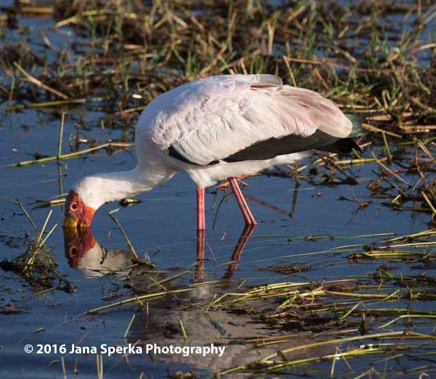 Yellow-billed-storkweb