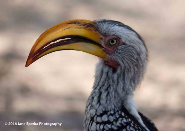 Yellow-hornbillweb