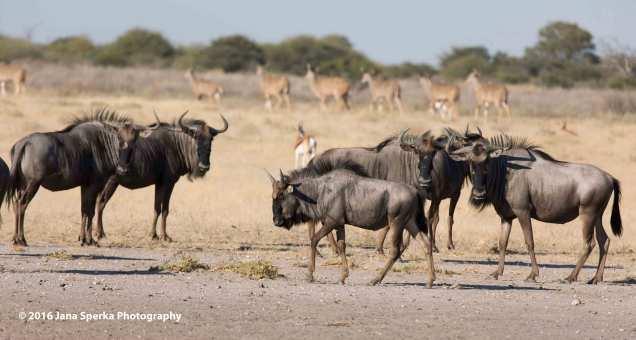 Young-wildebeest-struttingweb