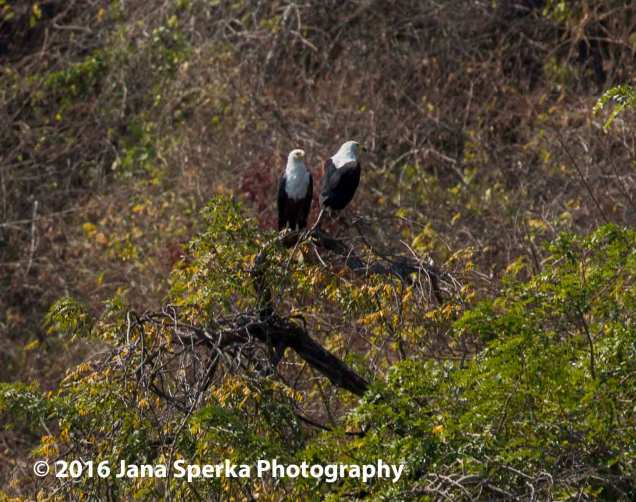 African-Fish-Eagle---mating-pairweb