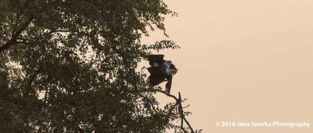 African-Fish-Eagle-matingweb
