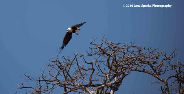 African-Fish-Eagle---take-off_1web