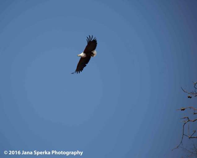 African-Fish-Eagle---take-off_2web
