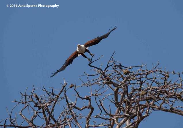 African-Fish-Eagle---take-offweb