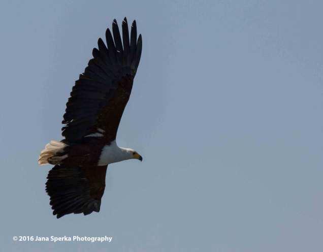 African-Fish-Eagleweb