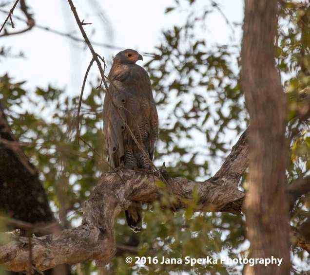 African-Harrier-Hawk-or-Gymnogeneweb