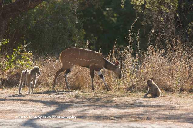 Bushbuck-and-Chacma-Baboonsweb