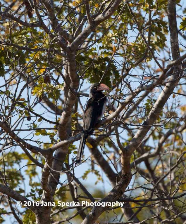 Crowned-Hornbillweb