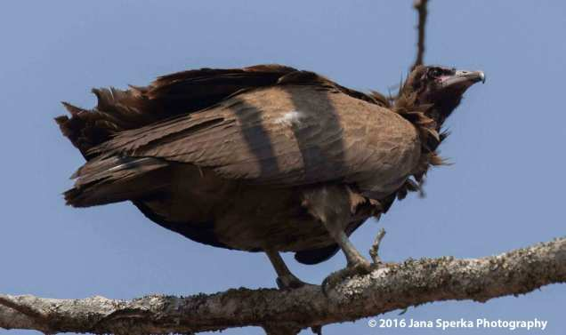 Egyptian-Vultureweb