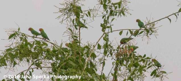 Endangered-Love-Birdsweb