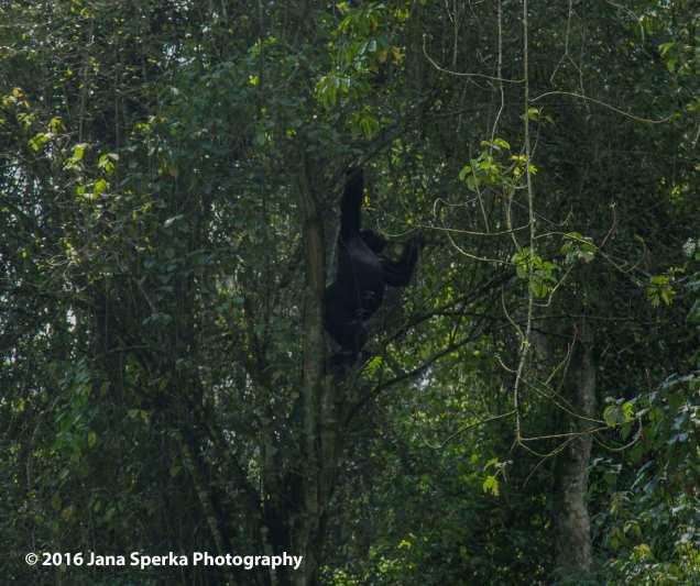 gorilla_13web