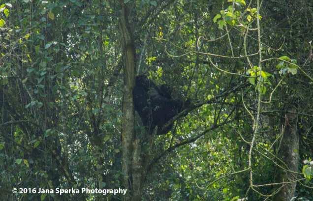 gorilla_14web