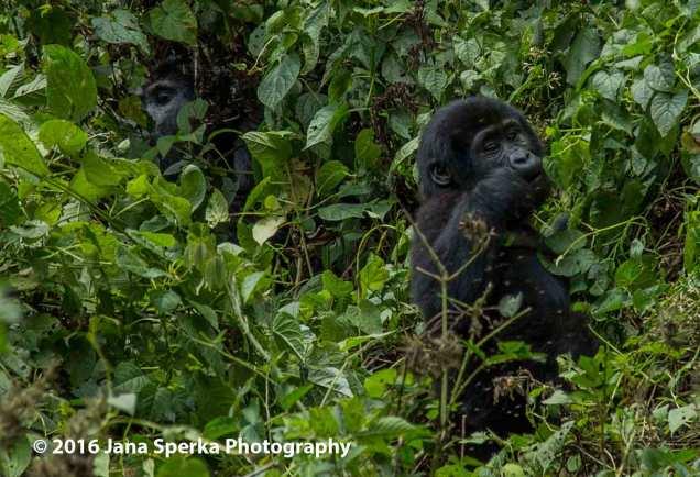 gorilla_17web