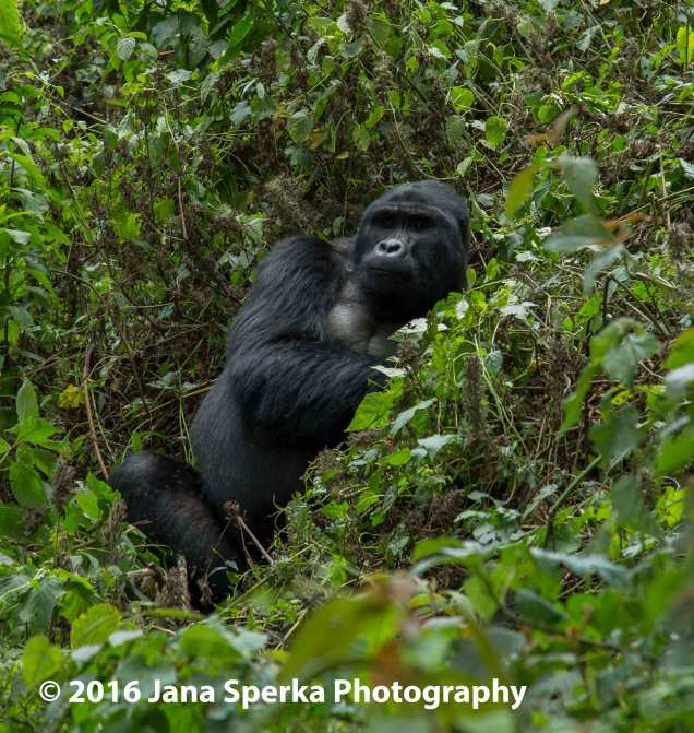 gorilla_19web