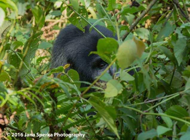 gorilla_1web