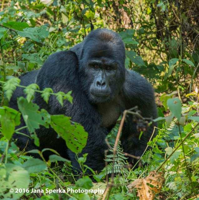 gorilla_3web