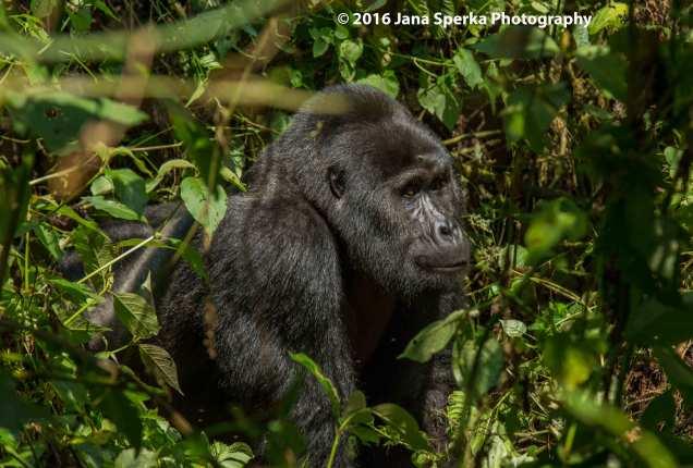 gorilla_4web