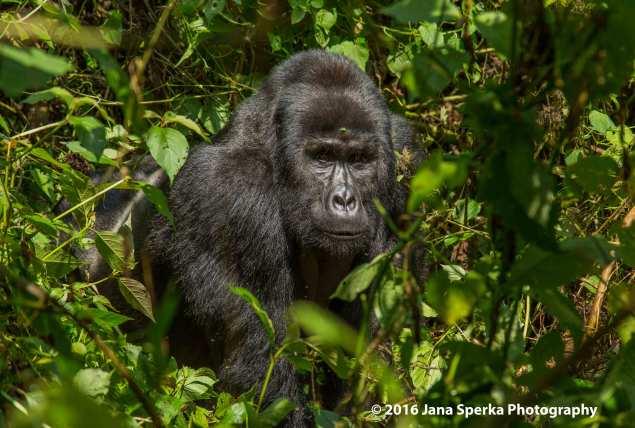 gorilla_5web