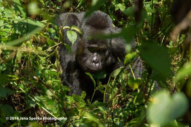 gorilla_6web