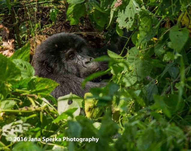 gorilla_9web