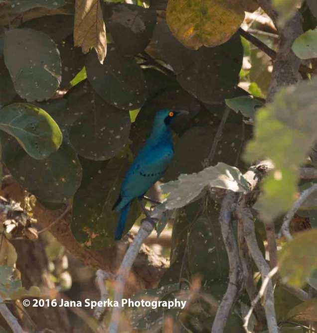 Greater-Blue-eared-starlingweb