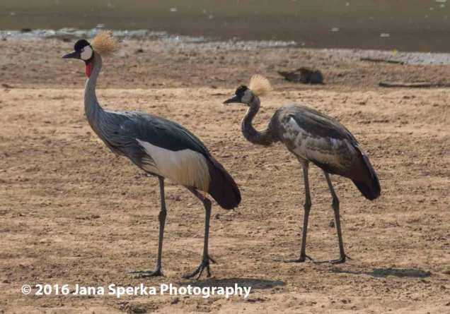 Grey-Crowned-Crane-and-Juviweb