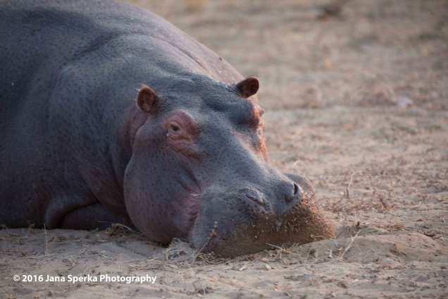 hippo-unimpressedweb
