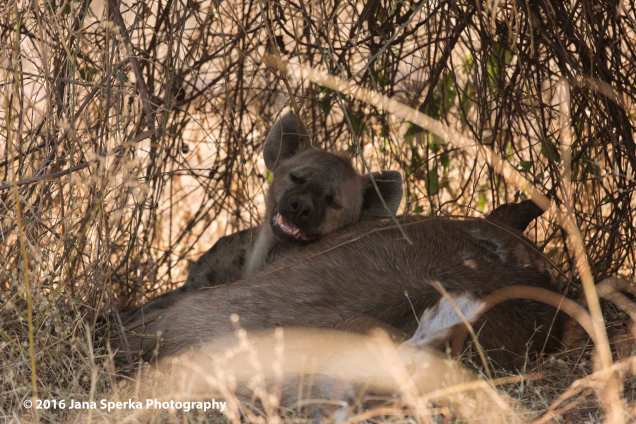 Hyena-and-killweb