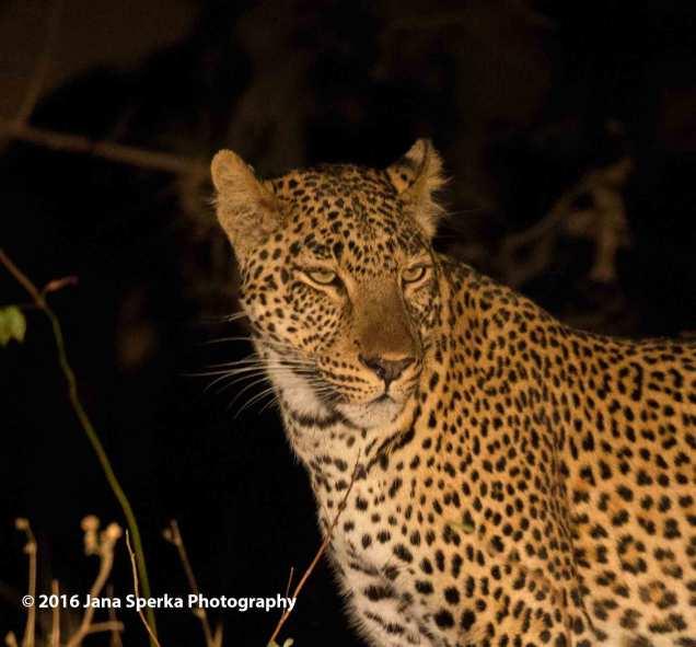 Leopard_1web