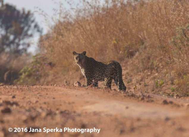 Leopardweb