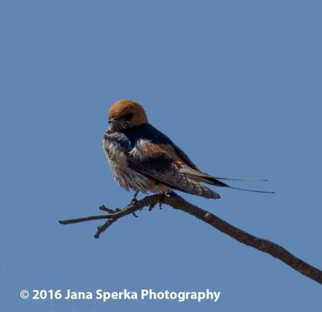 Lesser-Stripped-Swallowweb