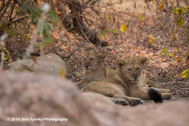 Lion-cubs-snack-time_11web