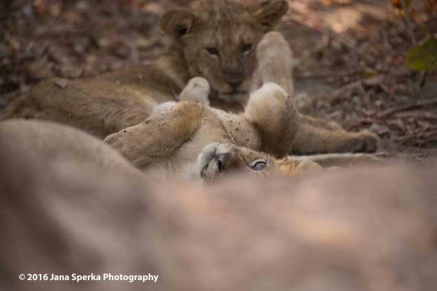 Lion-cubs-snack-time_12web