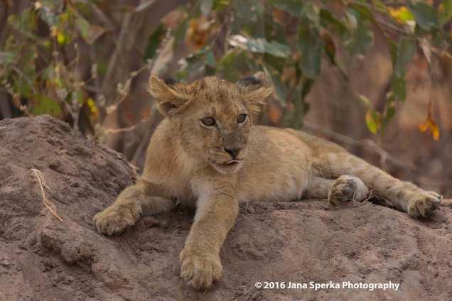 Lion-cubs-snack-time_1web