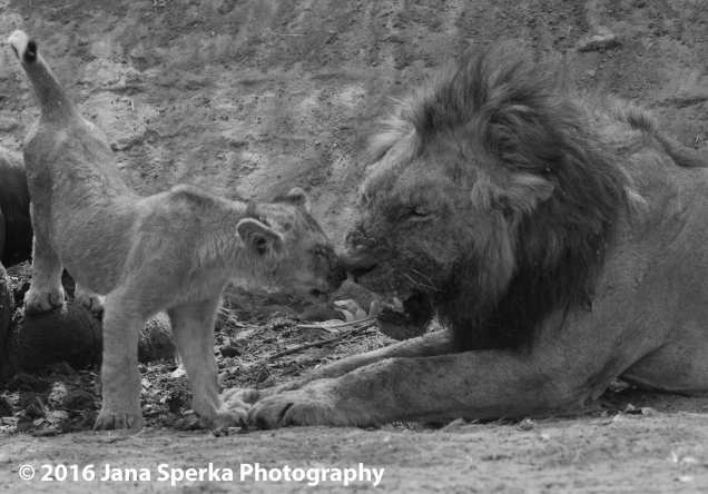 Lion-cubs-snack-time_4web