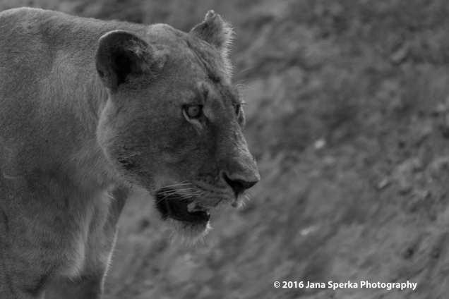 Lion-cubs-snack-time_5web