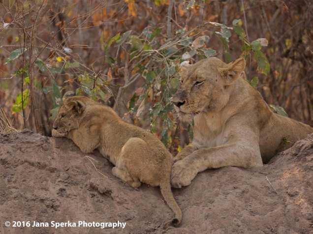 Lion-cubs-snack-time_7web